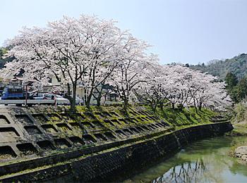 美又温泉国民保養センター 桜