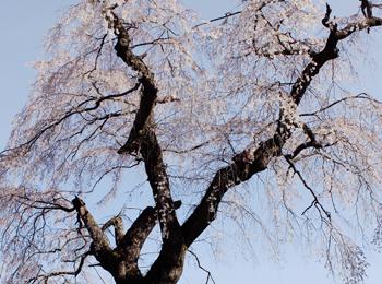 むいかいち温泉ゆらら 桜