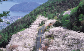 野呂山:桜