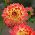 休暇村グループの公共の宿 国民宿舎両神荘 ダリア園:開花状況 015