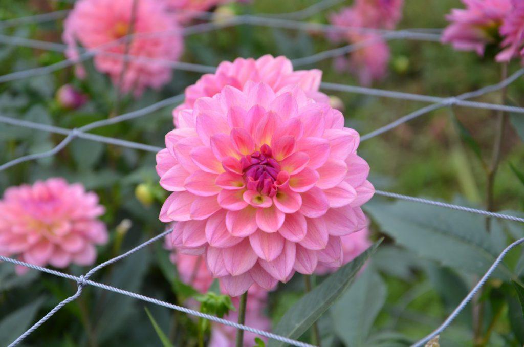 休暇村グループの公共の宿 国民宿舎両神荘 ダリア園:開花状況 011
