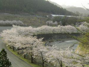 休暇村グループの公共の宿 国民宿舎両神荘 桜並木