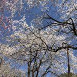 休暇村グループの公共の宿 国民宿舎両神荘 しだれ桜2