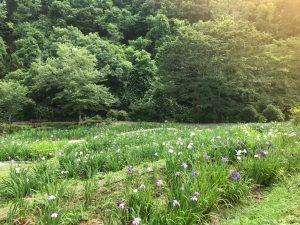 休暇村グループの公共の宿 国民宿舎両神荘 6.25花しょうぶ写真2