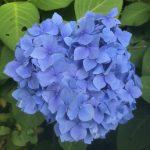 休暇村グループの公共の宿 国民宿舎両神荘 紫陽花