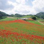 休暇村グループの公共の宿 国民宿舎両神荘 ポピー畑