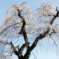 休暇村サービスむいかいち温泉ゆ・ら・らから車で10分のみろく公園のしだれ桜