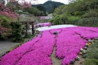 休暇村グループの公共の宿 美榛苑 滝谷花しょうぶ園のしば桜