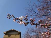 休暇村グループの公共の宿 七尾桜開花情報 国民宿舎能登小牧台