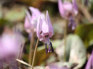 休暇村グループ公共の宿むいかいち温泉ゆ・ら・らのカタクリの花