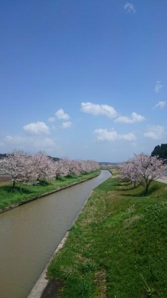 桜並木 能登小牧台 豊田