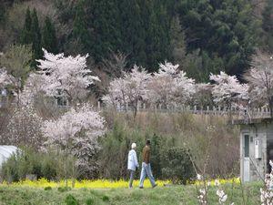 休暇村グループ公共の宿むいかいち温泉ゆ・ら・らの桜