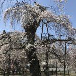 休暇村グループの公共の宿 国民宿舎両神荘 しだれ桜